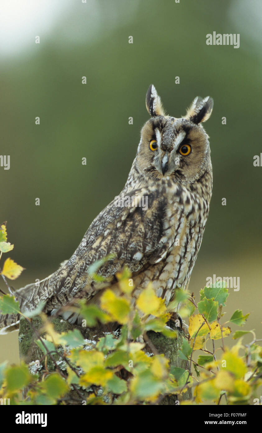 Long Eared Owl taken in profileears raised looking at camera eyes wide open perched behind green leaves - Stock Image
