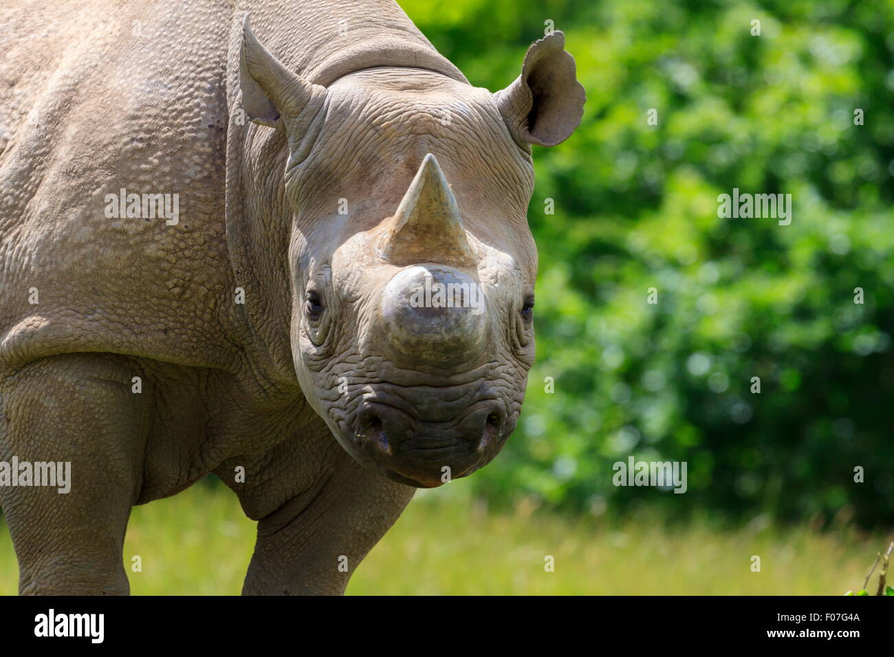Eastern Black Rhinoceros - Stock Image