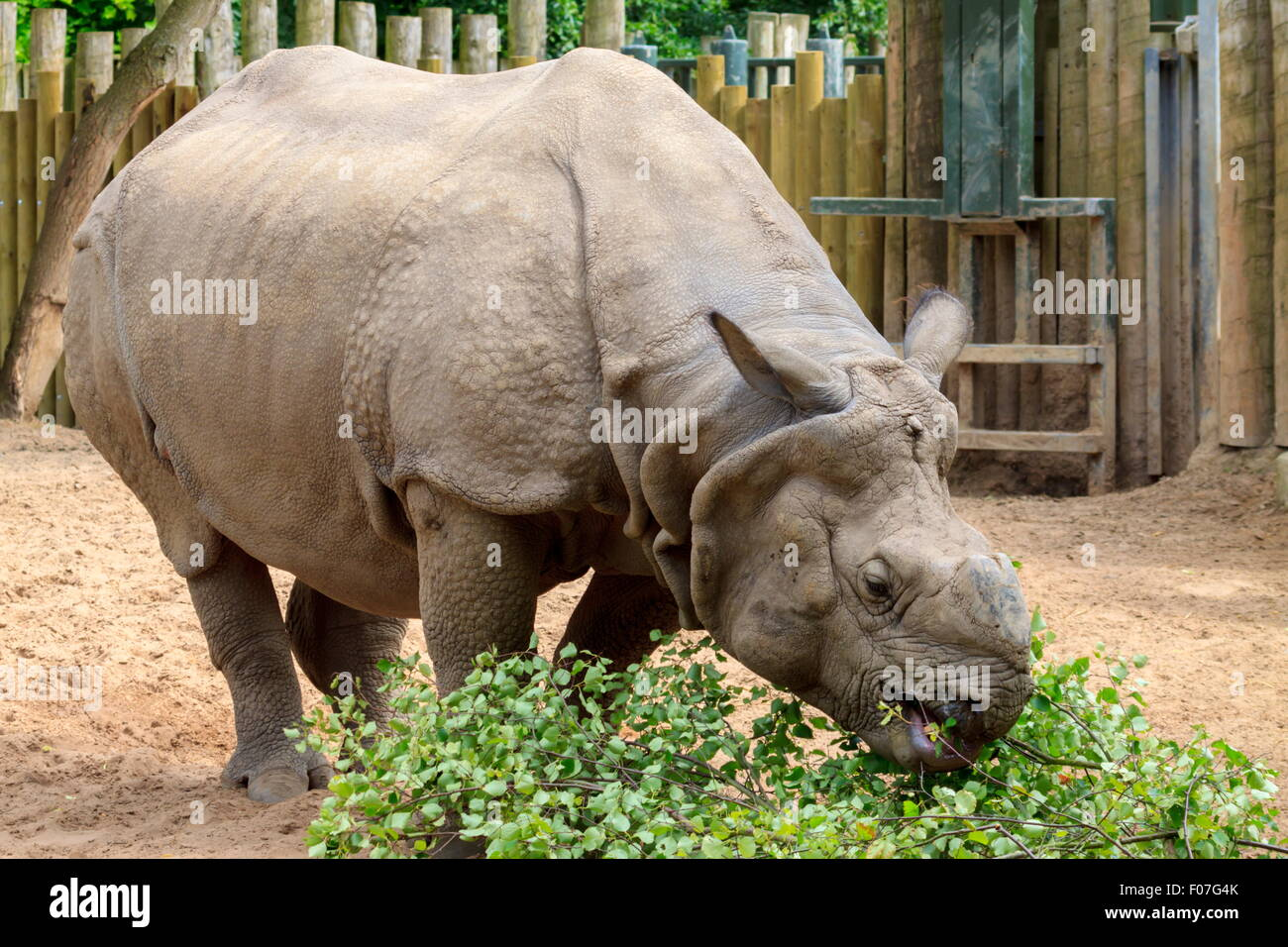 Greater One-horned Rhinoceros having a feed - Stock Image