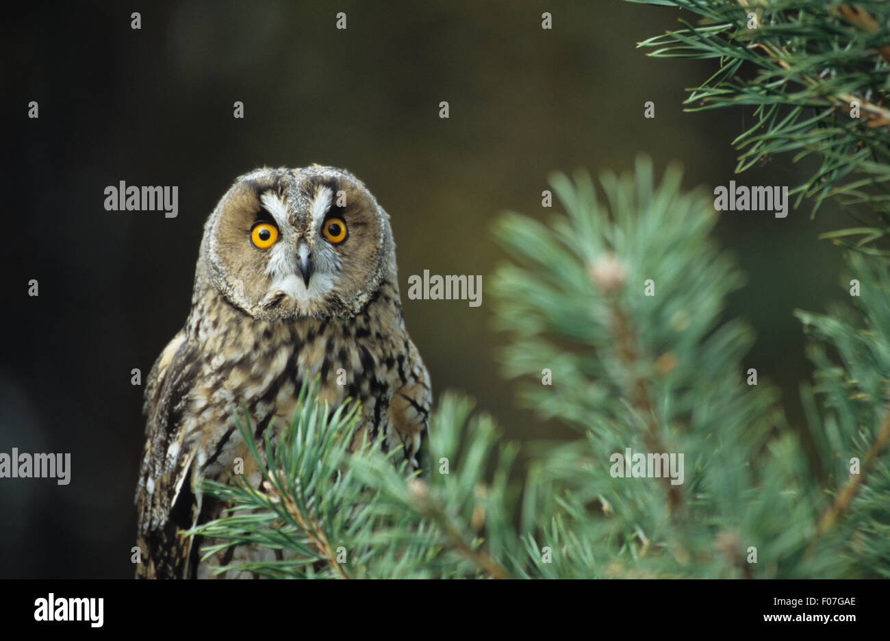 Long Eared Owl taken from front eyes wide open staring at camera from behind fir tree branches - Stock Image