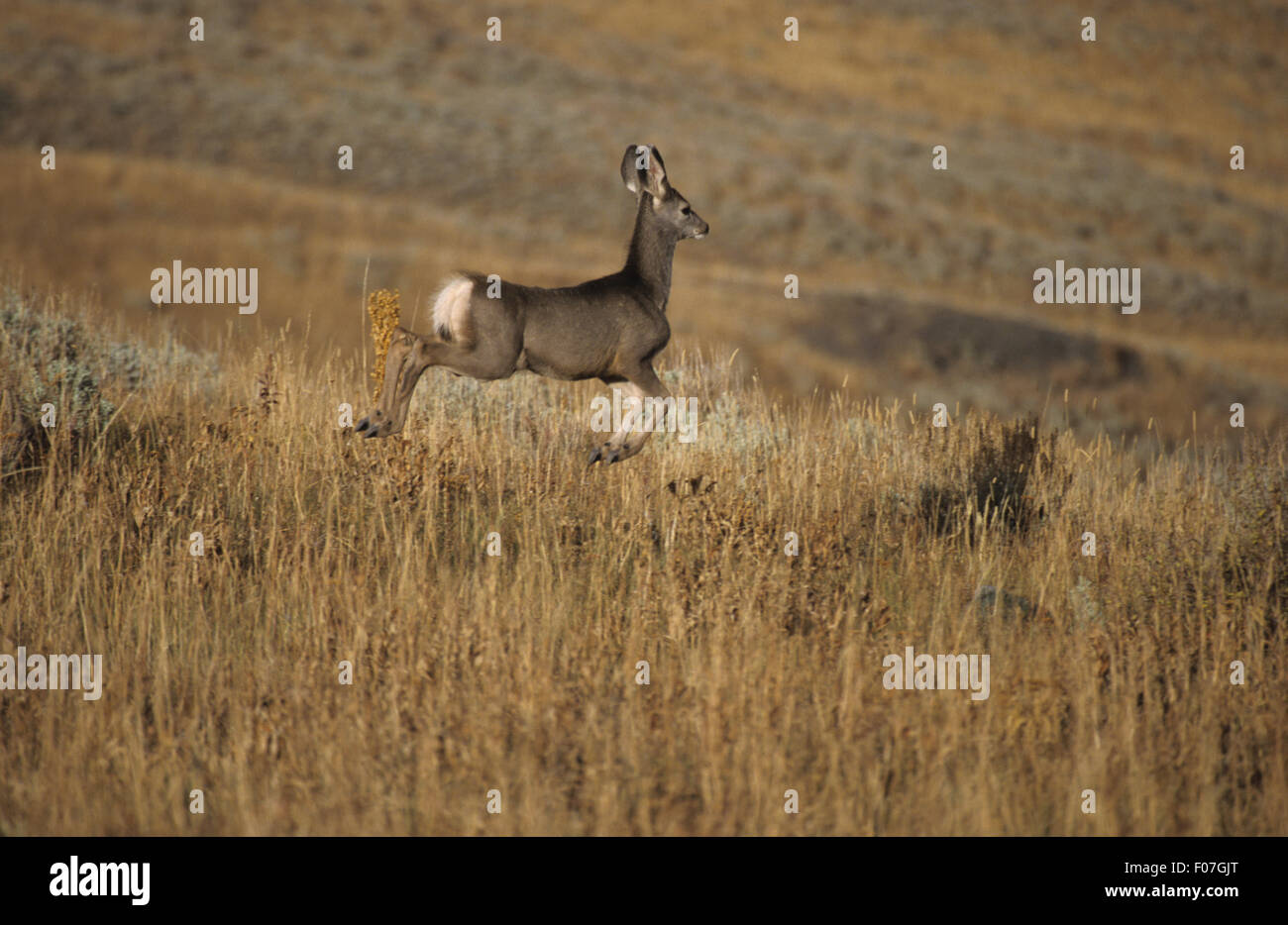 Mule Deer taken in profile pronging leaping through the air to the right  through long grass - Stock Image