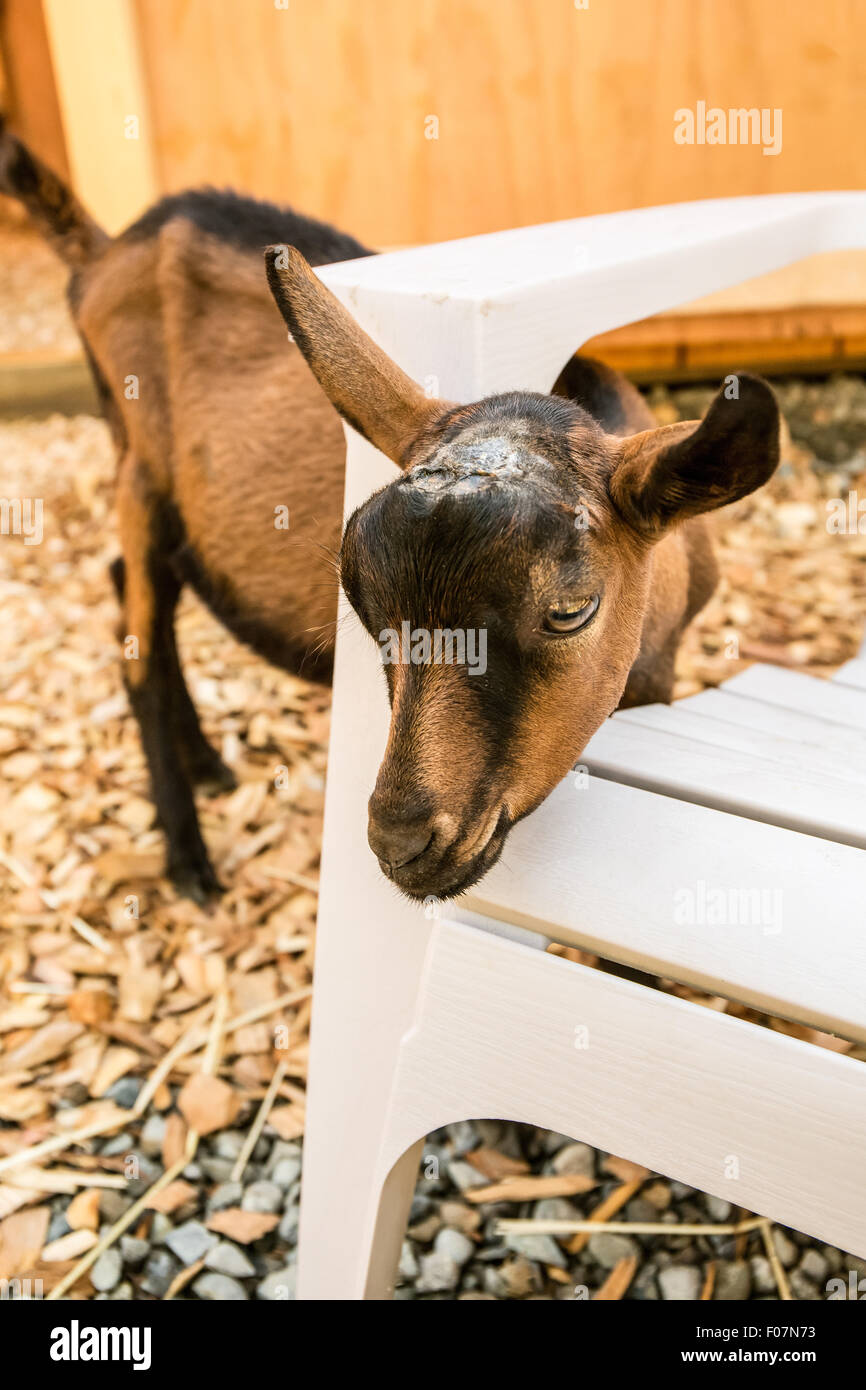 11 week old Oberhasli goat looking like it has its head stuck in a chair, but actually it is using the chair to Stock Photo