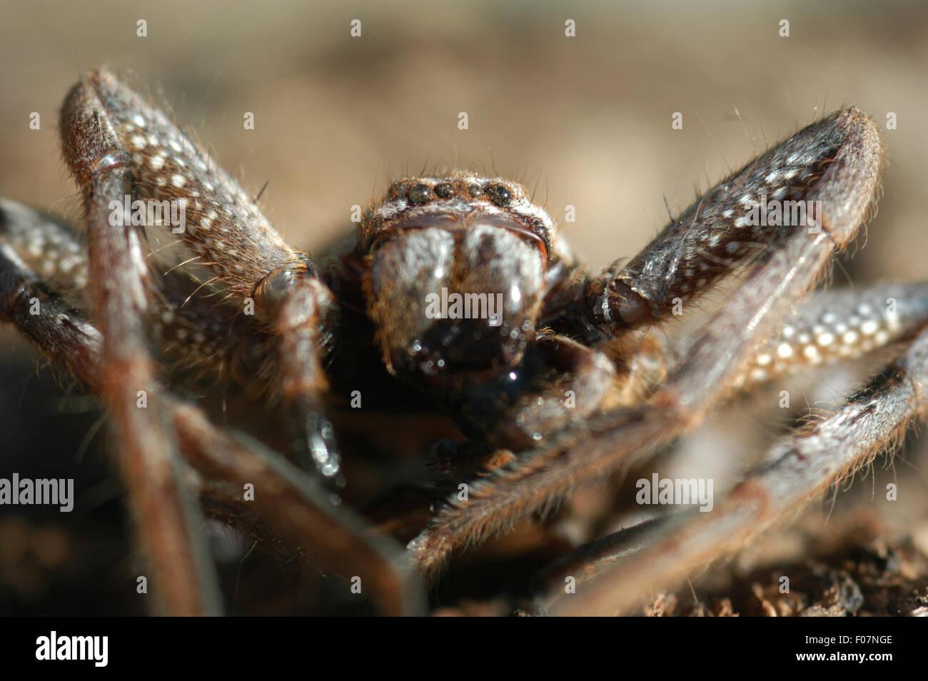 DETAILED SHOT OF SPIDER (ISOPODA SP.) - Stock Image