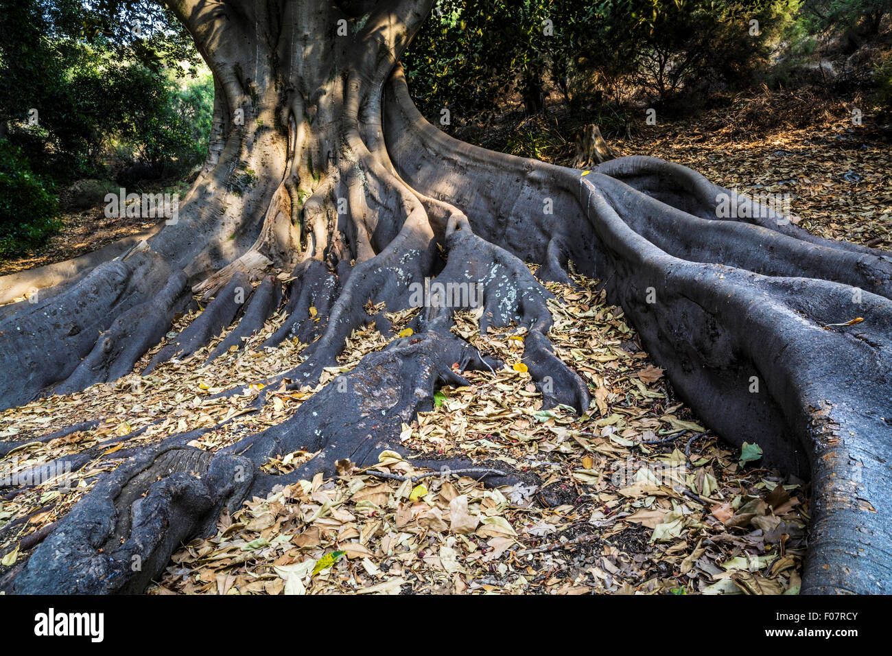 Roots of a Moreton Bay Fig (Ficus macrophylla) - Stock Image