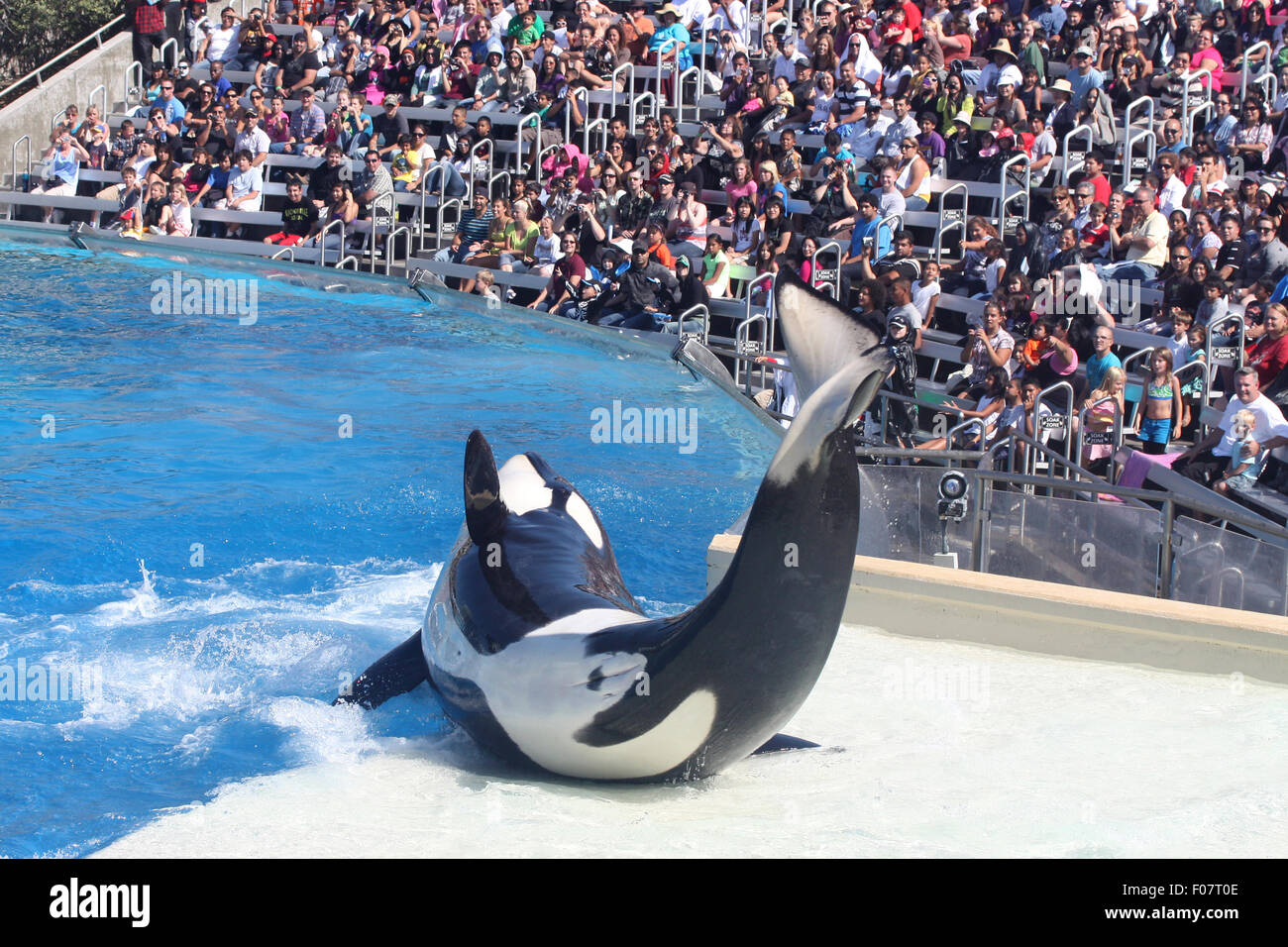 Killer whale performing at the park - Stock Image