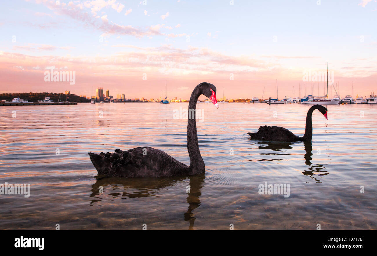 Black Swans ( Cygnus atratus ) on the Swan River at Matilda Bay Reserve at sunset with Perth city in the distance. - Stock Image