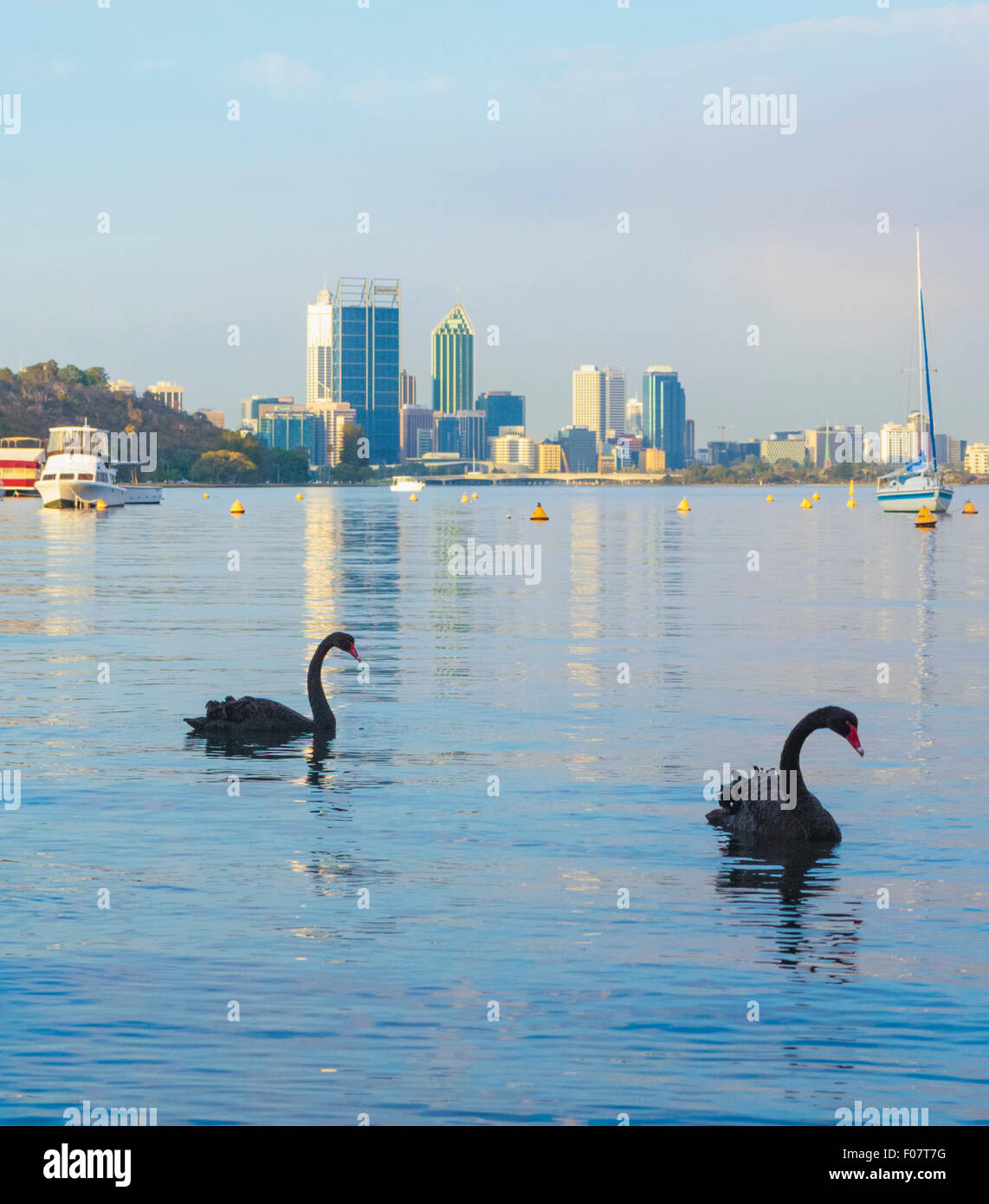 Black Swans (Cygnus atratus) on the Swan River at Matilda Bay Reserve with Perth city in the distance.  Western - Stock Image