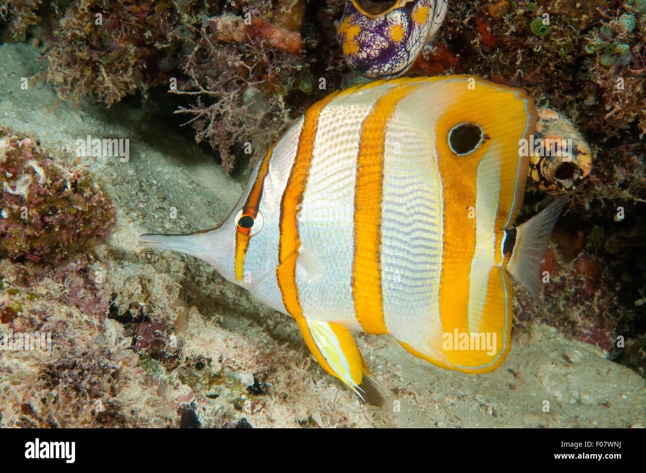 Beaked Coralfish (Chelmon rostratus) - Stock Image
