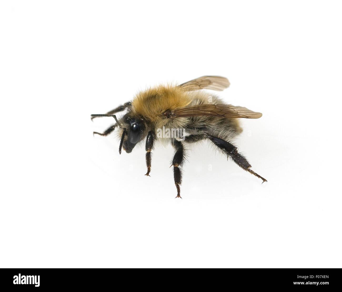 Feldhummel, Bombus ruderatus, - Stock Image