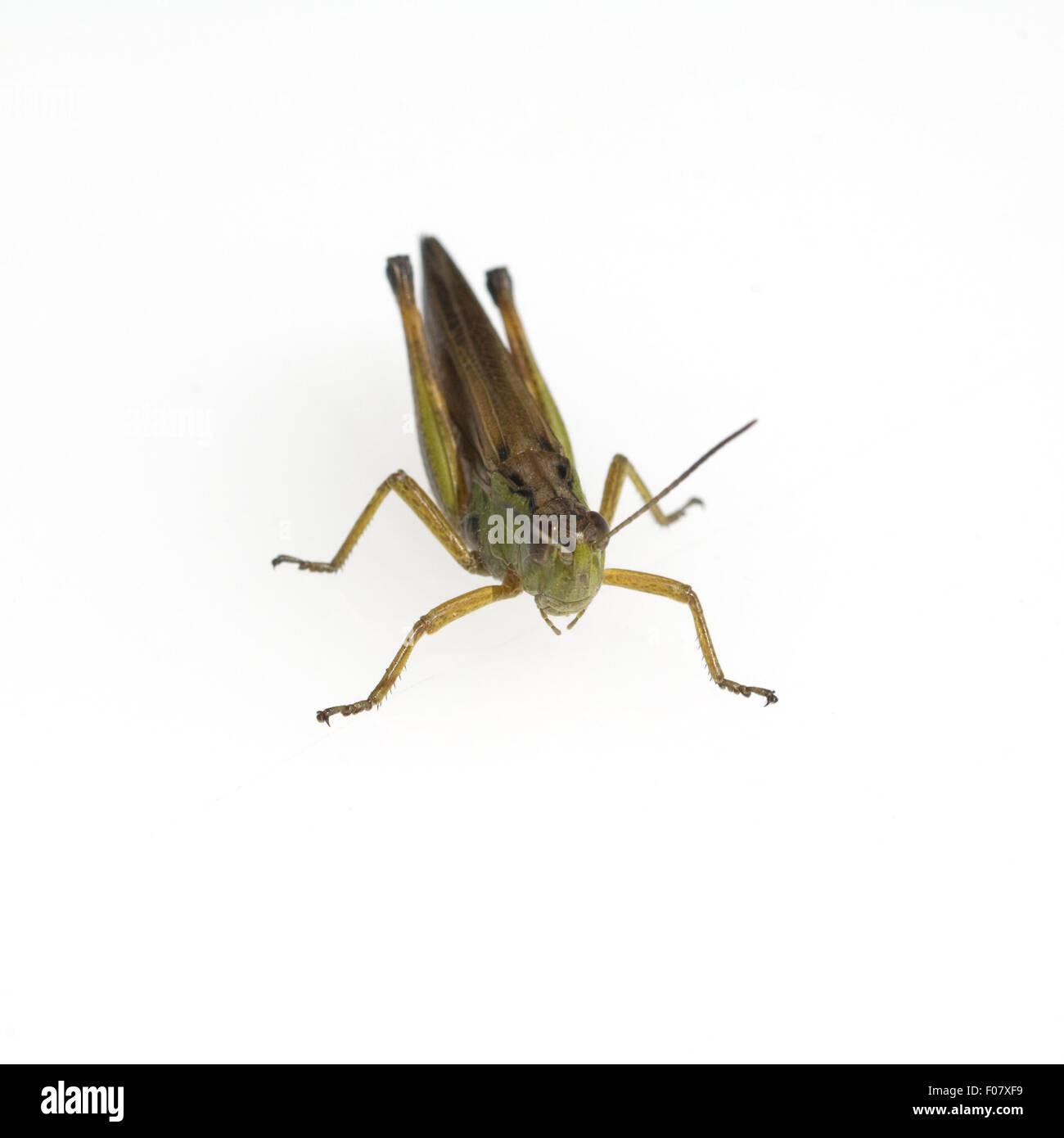 Feldheuschrecke; Chorthippus, biguttulus, Stock Photo