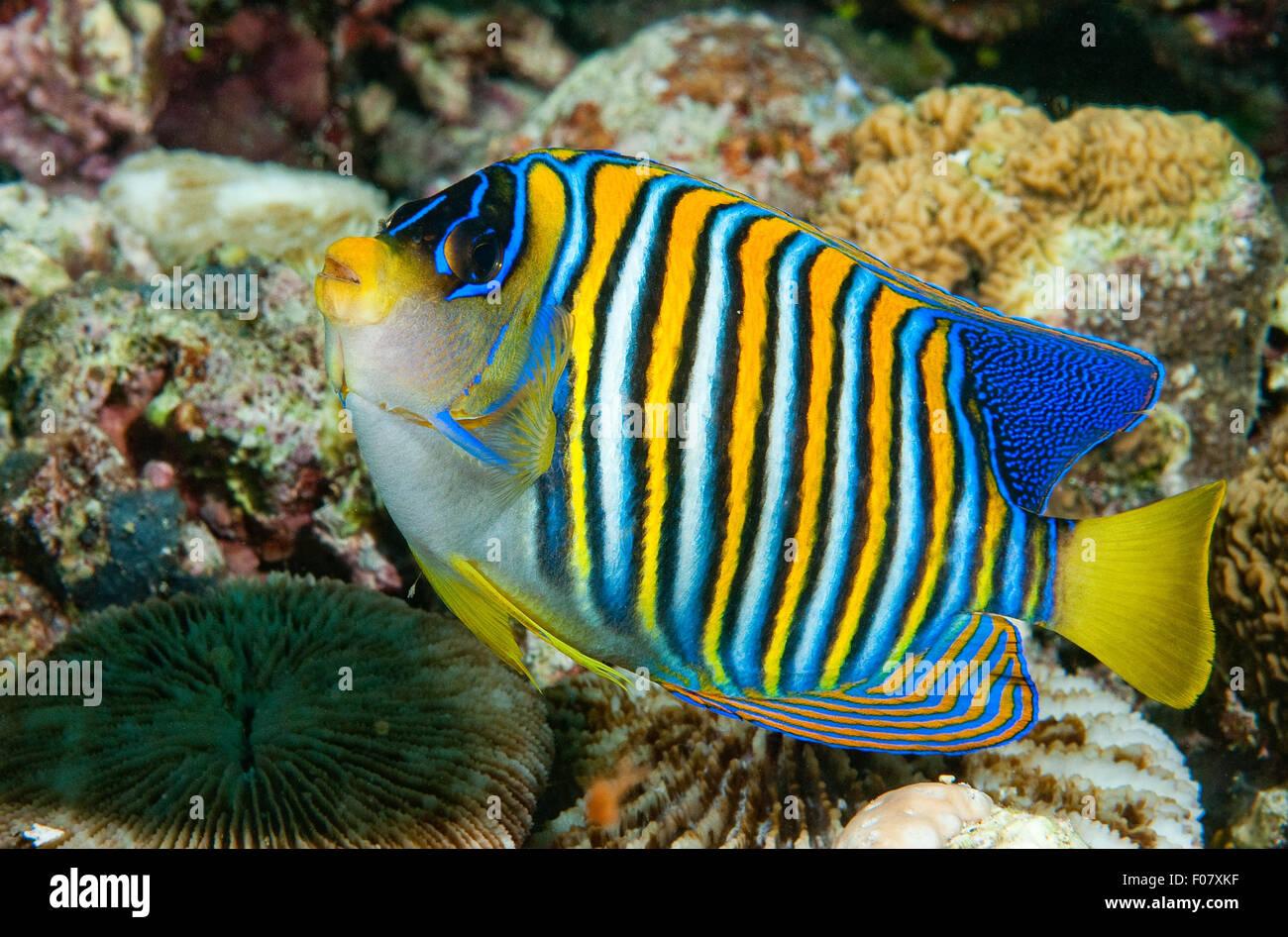 Regal Angelfish (Pygoplites diacanthus) - Stock Image