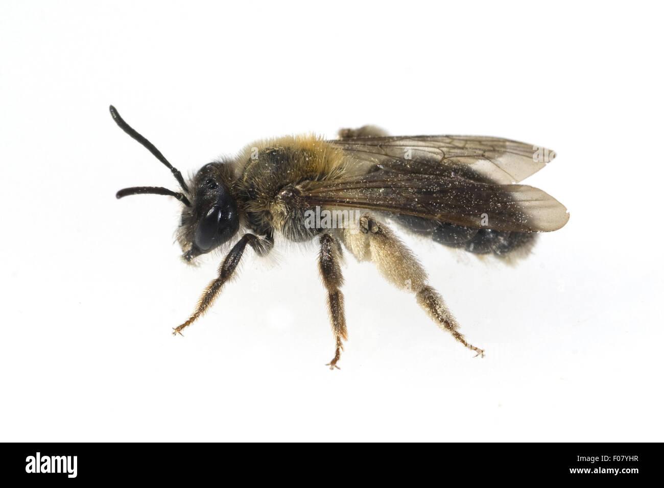 Wildbiene, - Stock Image