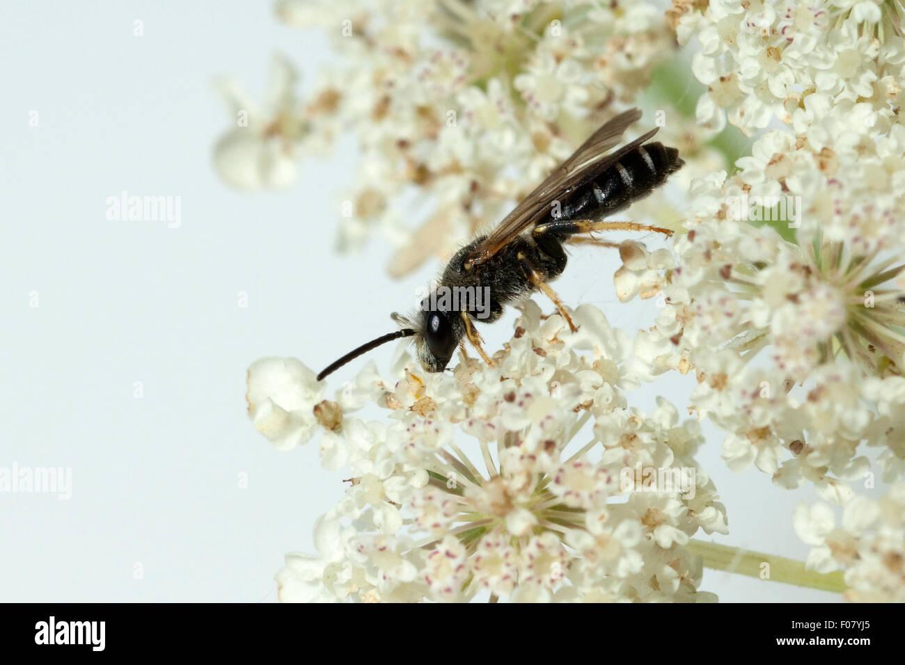 Wildbiene; Loecherbienen; Loecherbiene; Solitaerbiene; Wildbienen; Apoidea; - Stock Image