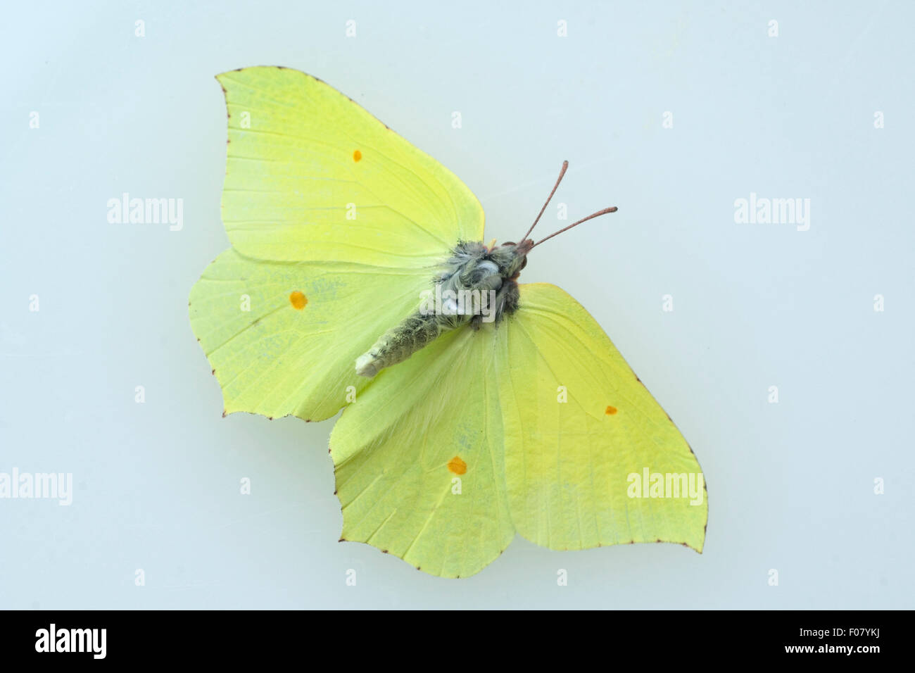 Zitronenfalter, Gonepteryx, rhamni, Weisslinge, - Stock Image