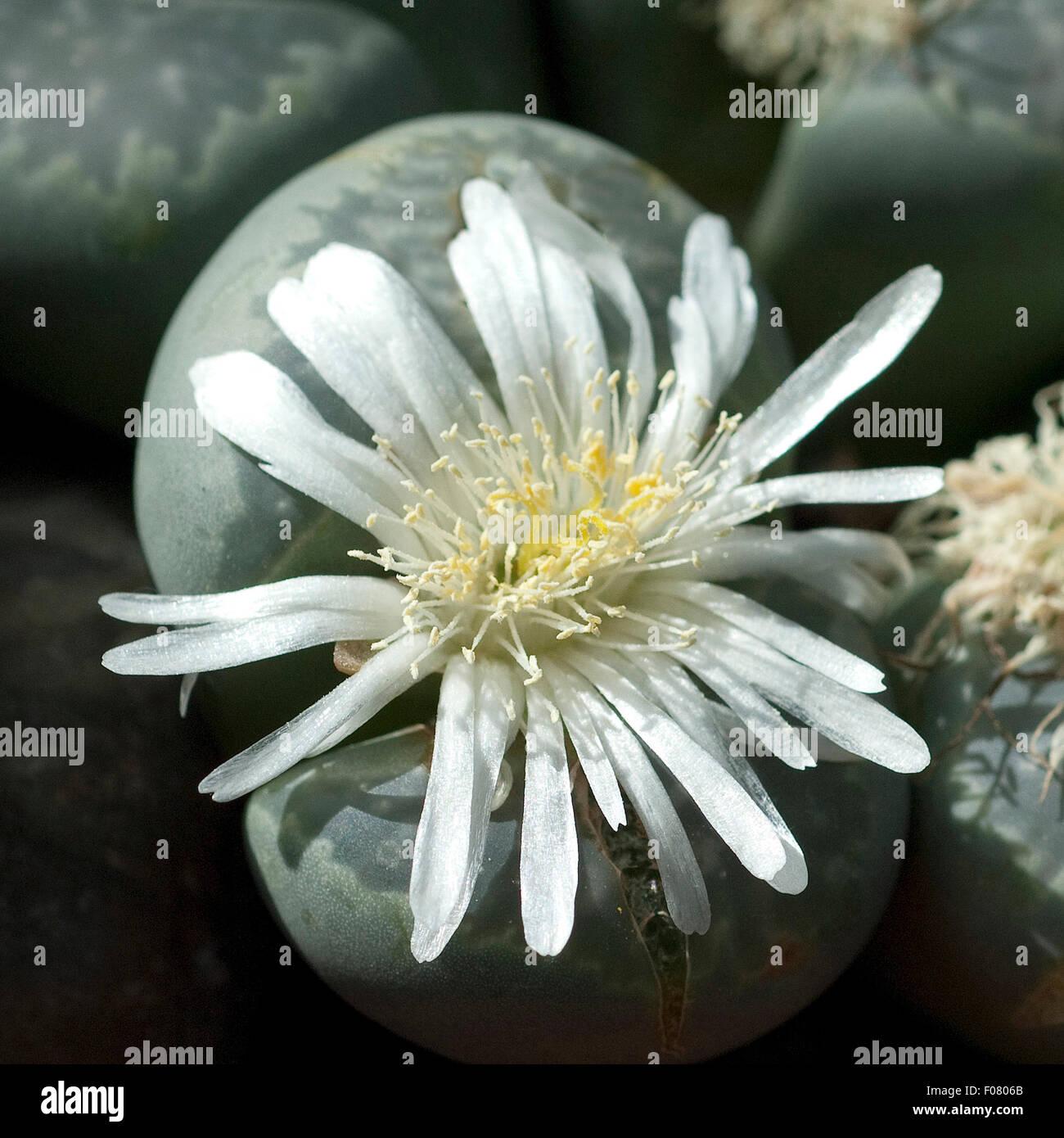 Lebende Steine; Lithops summitatum; - Stock Image