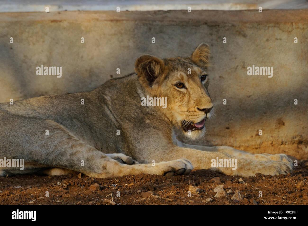 Juvenile lion (Panthera leo persica) at Gir national park, gujarat, india Stock Photo