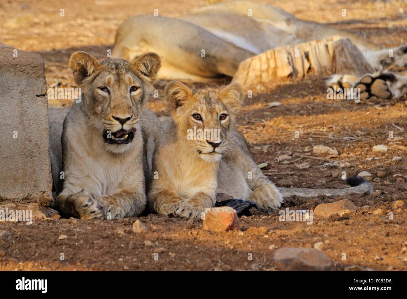 Asiatic lions (Panthera leo persica) at Gir national park, gujarat, india - Stock Image