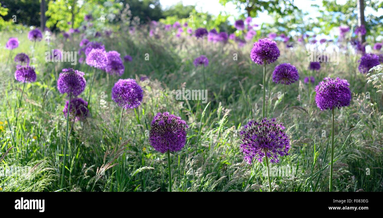 Alliums growing in the gardens of Alnwick Castle, Northumberland. - Stock Image