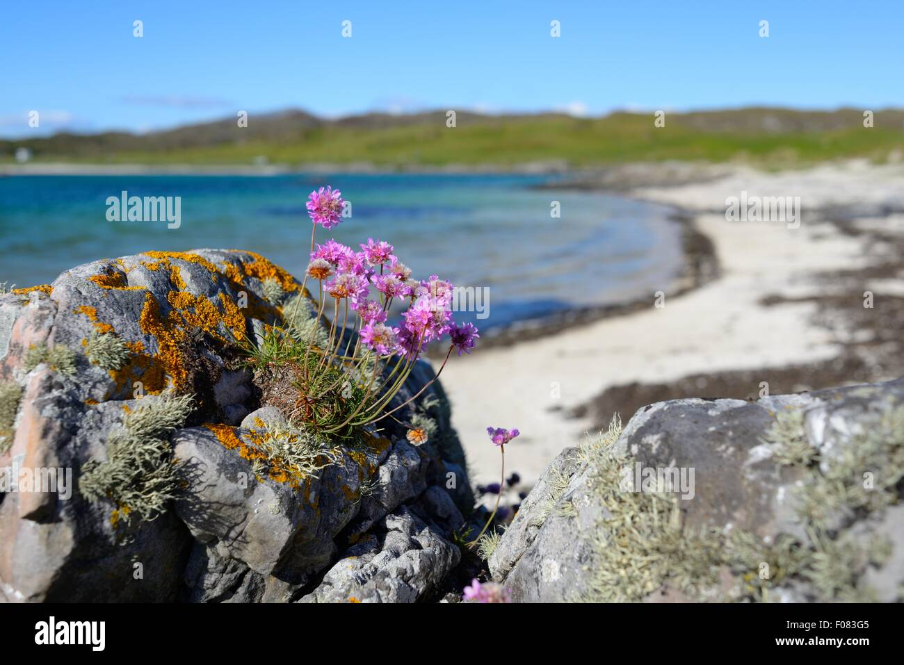 Wild purple flowers germinating and growing on rocks among lichens on a beach on the west coast of Scotland. - Stock Image