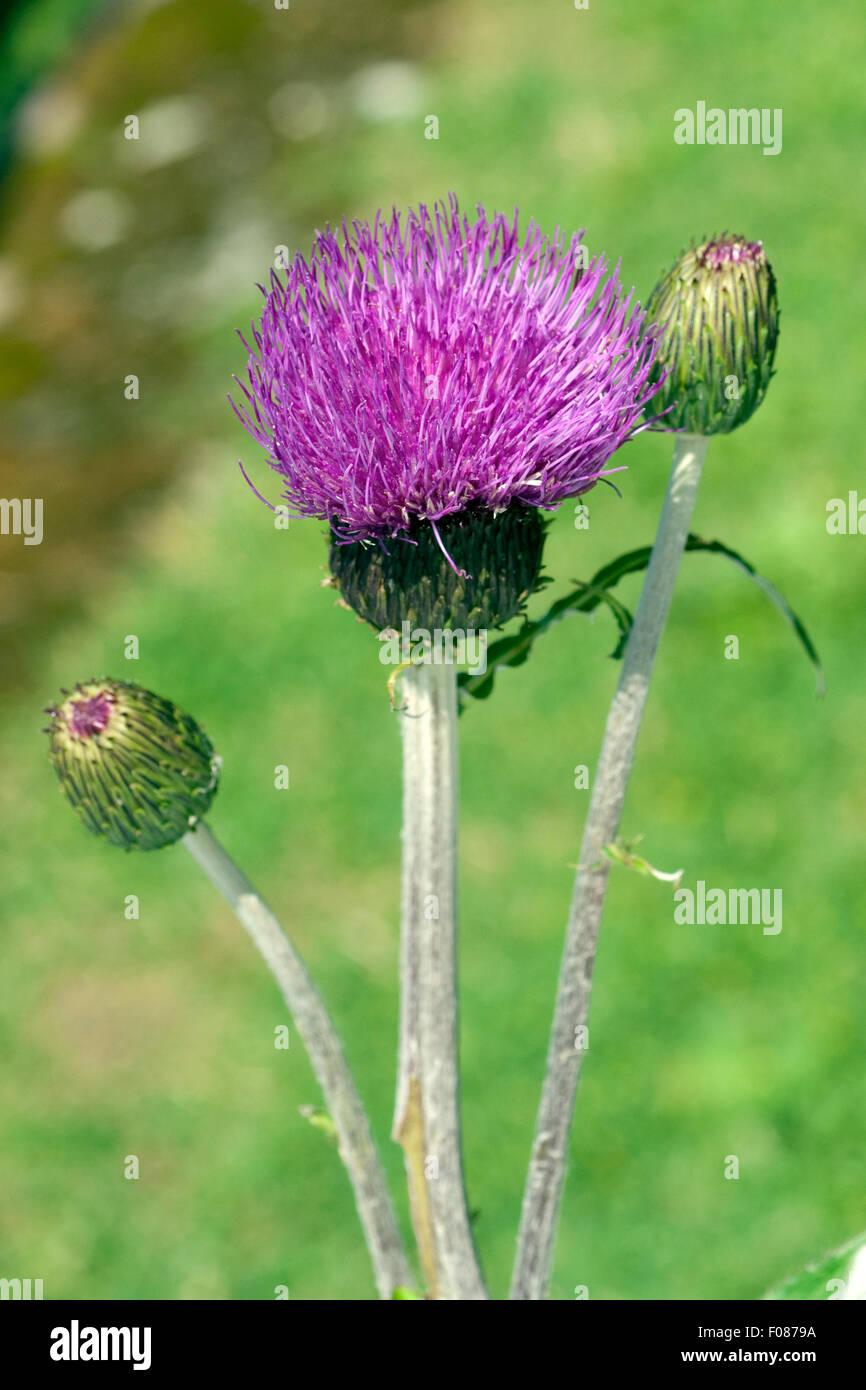 Verschiedenblaettrige, Kratzdistel, Cirsium helenioides Stock Photo