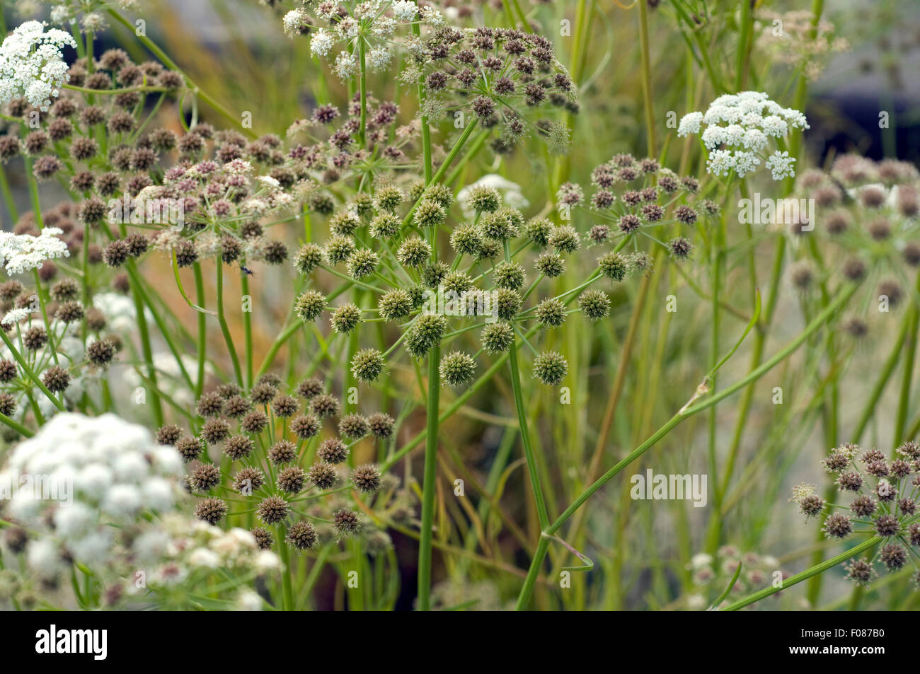 Meadow Wasserfenchel, Oenanthe, lachenalii, - Stock Image