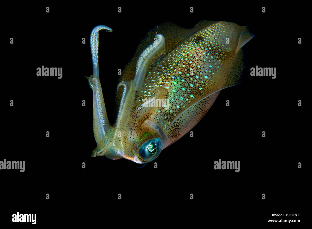 Big Reef Squid at Night, Sepioteuthis lessoniana, Ari Atoll, Maldives - Stock Image