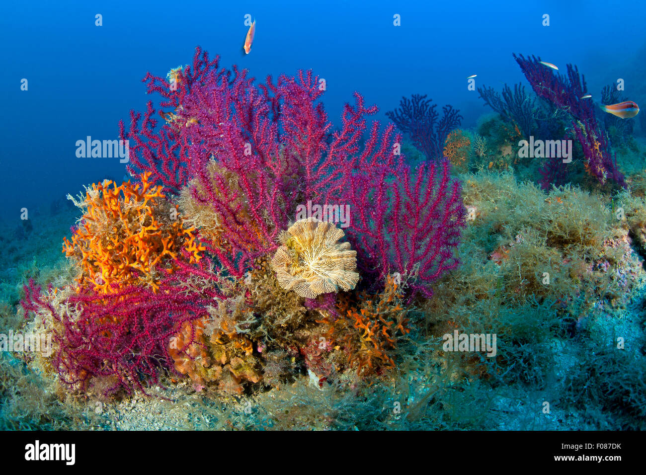 Variable Gorgonians in Coral Reef, Paramuricea clavata, Massa Lubrense, Campania, Italy - Stock Image