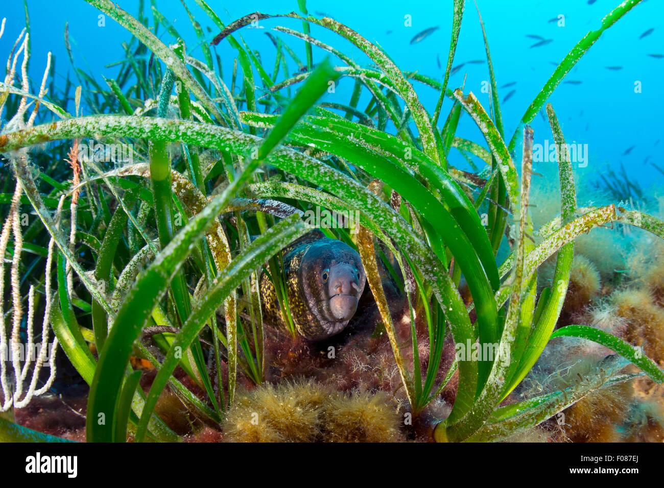 Moray in Seagrass Meadows, Posidonia oceanica, Massa Lubrense, Campania, Italy - Stock Image