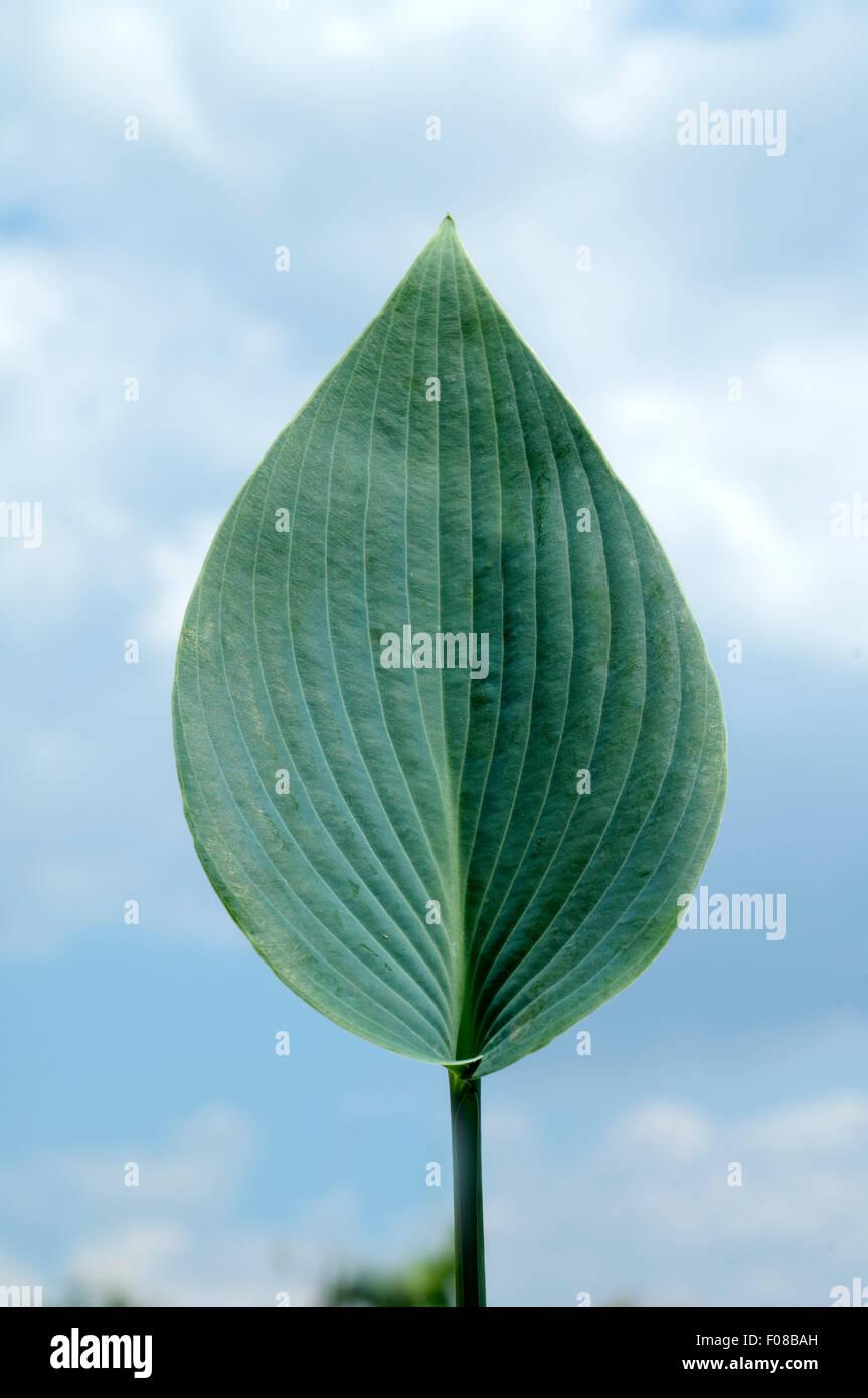Hosta; Blaetter, leaves, Blaublattfunkie, Hosta, sieboldii Stock Photo