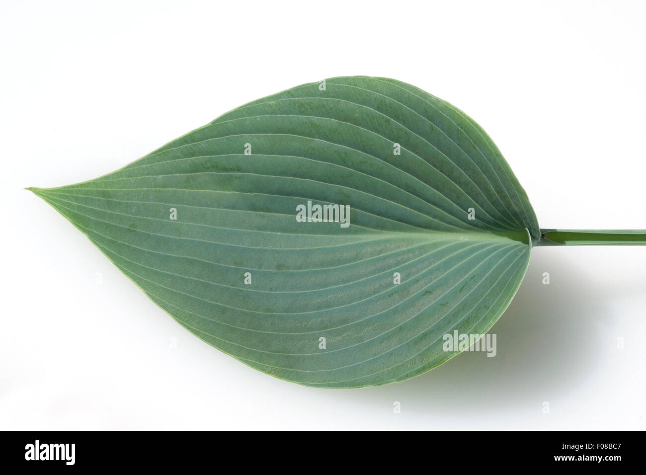 Hosta; Blaetter, leaves, Blaublattfunkie, Hosta, sieboldii Stock Photo