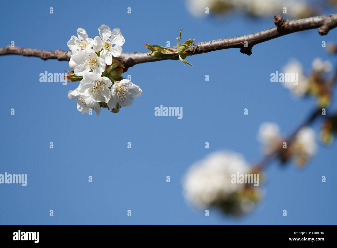 White chery flower on a blue sky background. - Stock Image