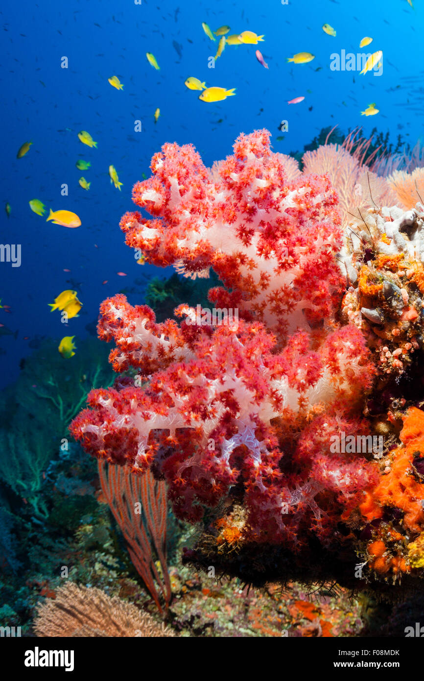 Colored Coral Reef, Marovo Lagoon, Solomon Islands - Stock Image