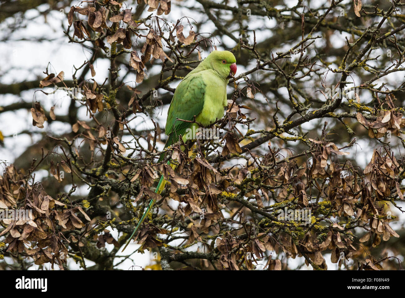 Rose-ringed parakeet, aka ring-necked parakeet, Psittacula krameri, in Richmond Park, Richmond, England, United Stock Photo