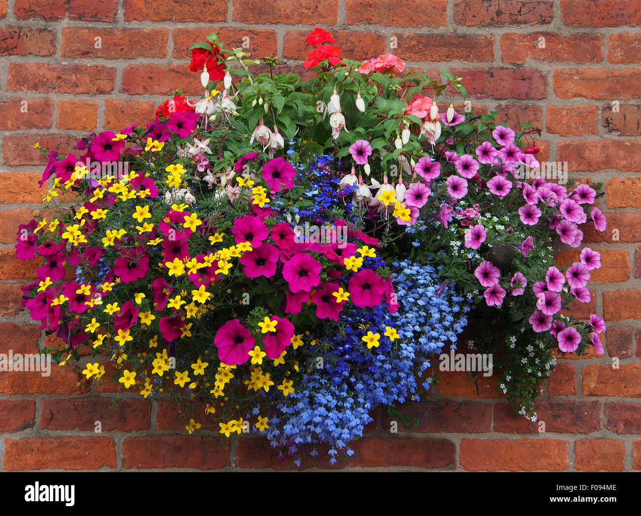 Hanging basket against a brick wall, containing bidens, geraniums, fuschia, lobelia and petunias taken in August - Stock Image