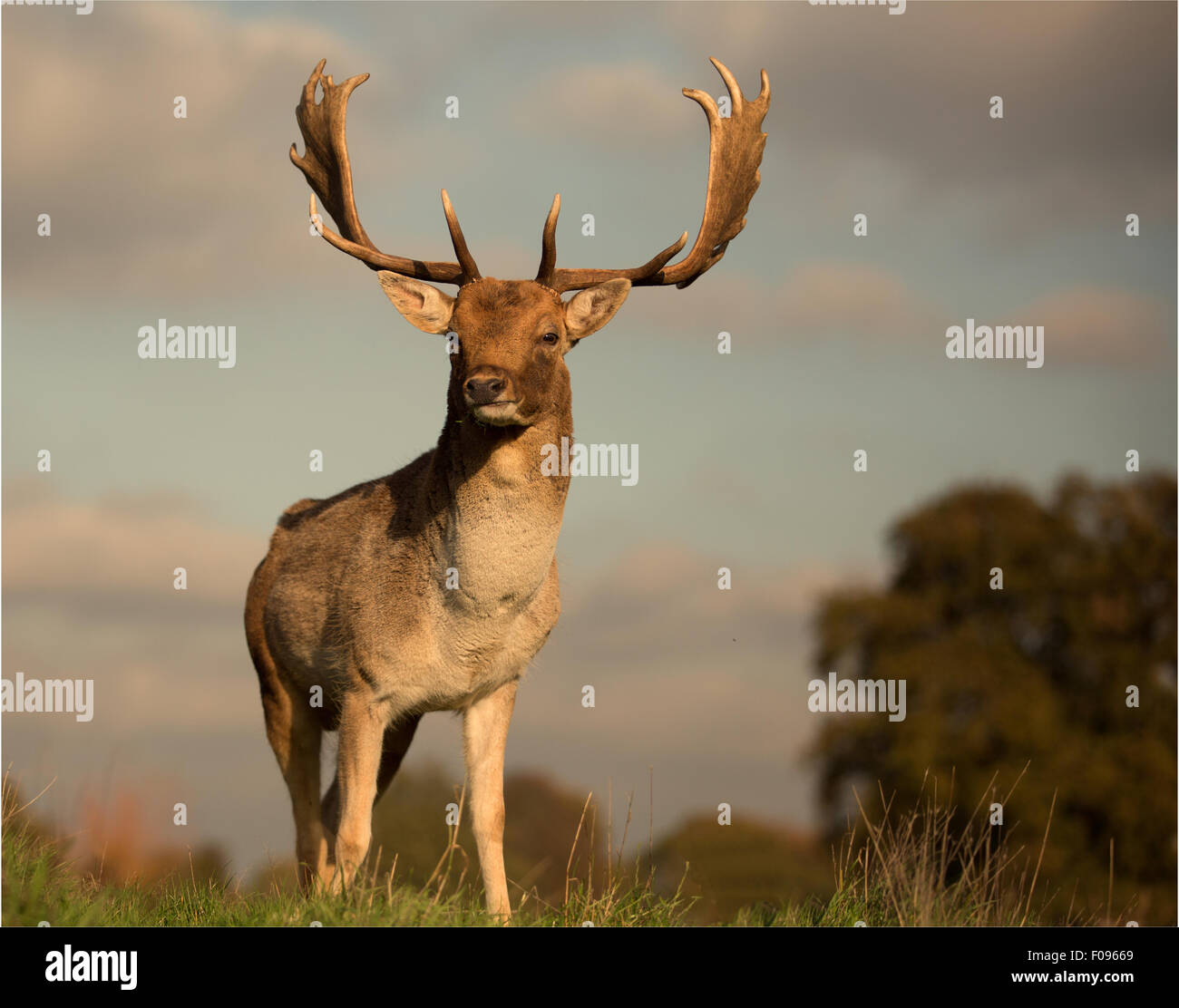 King Of The Hill Regal Proud And Powerful This Fallow Deer Buck