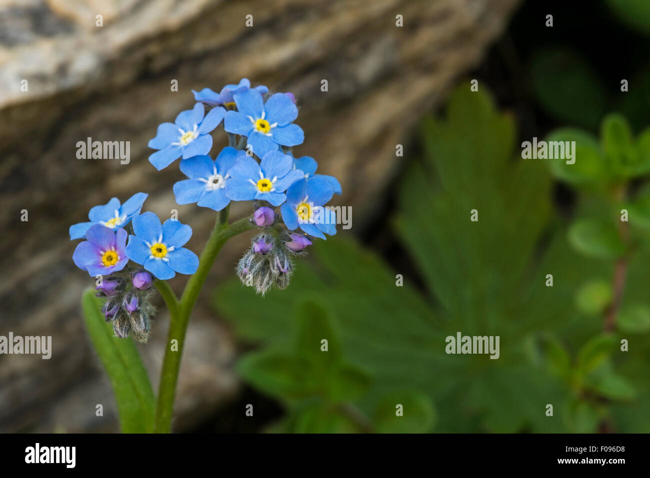 Alpine Forget-me-not (Myosotis alpestris) in flower in the Alps Stock Photo