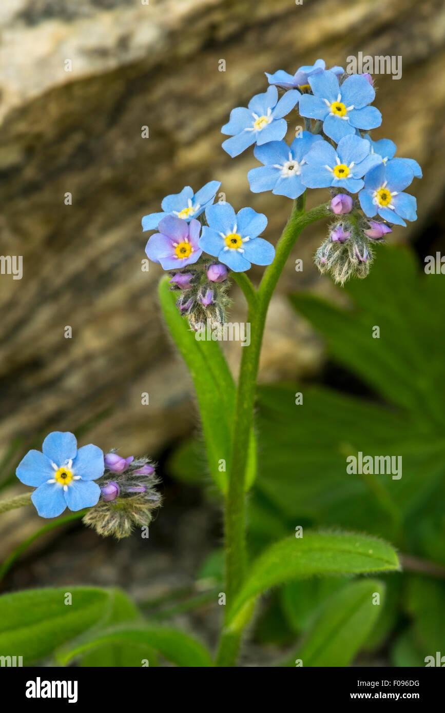 Alpine Forget-me-not (Myosotis alpestris) in flower in the Alps Stock Photo