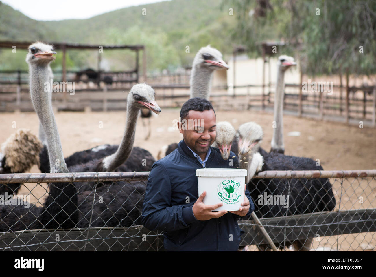 A tourist feeds Ostriches on Gango Ostrich Farm , South Africa - Stock Image