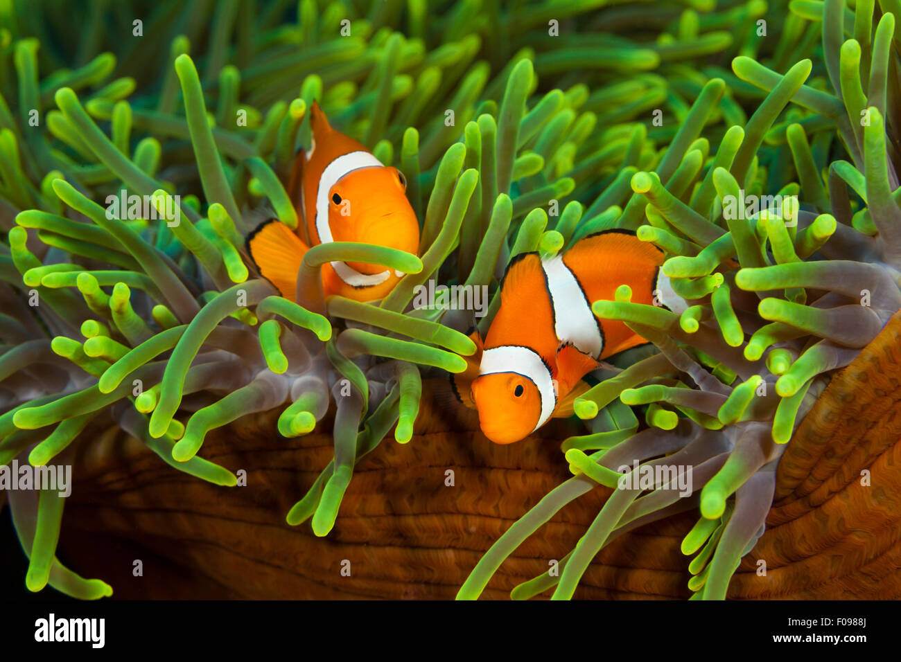 Pair of Clown Anemonefish, Amphiprion ocellaris, Florida Islands, Solomon Islands - Stock Image