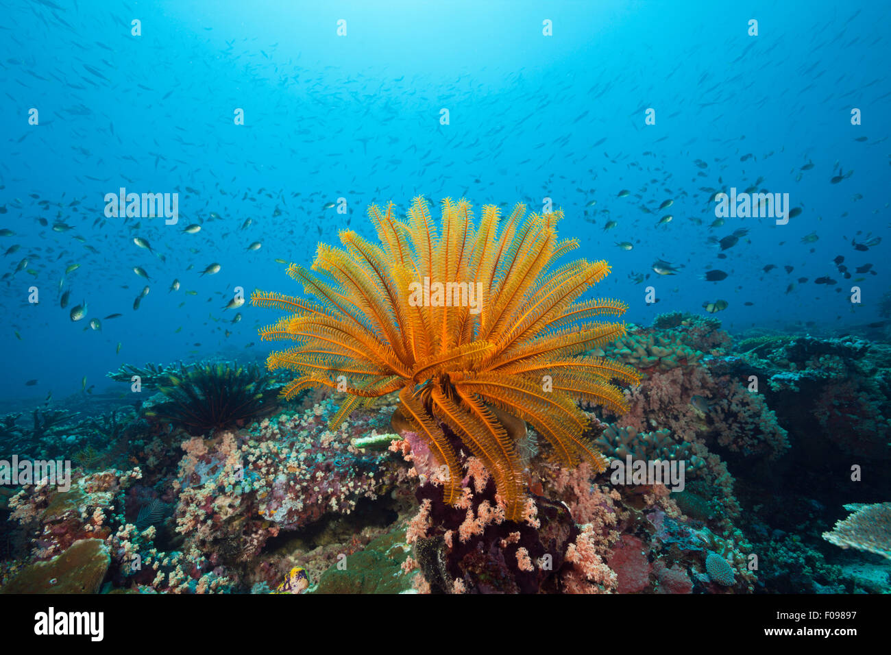 Crinoid in Coral Reef, Florida Islands, Solomon Islands - Stock Image