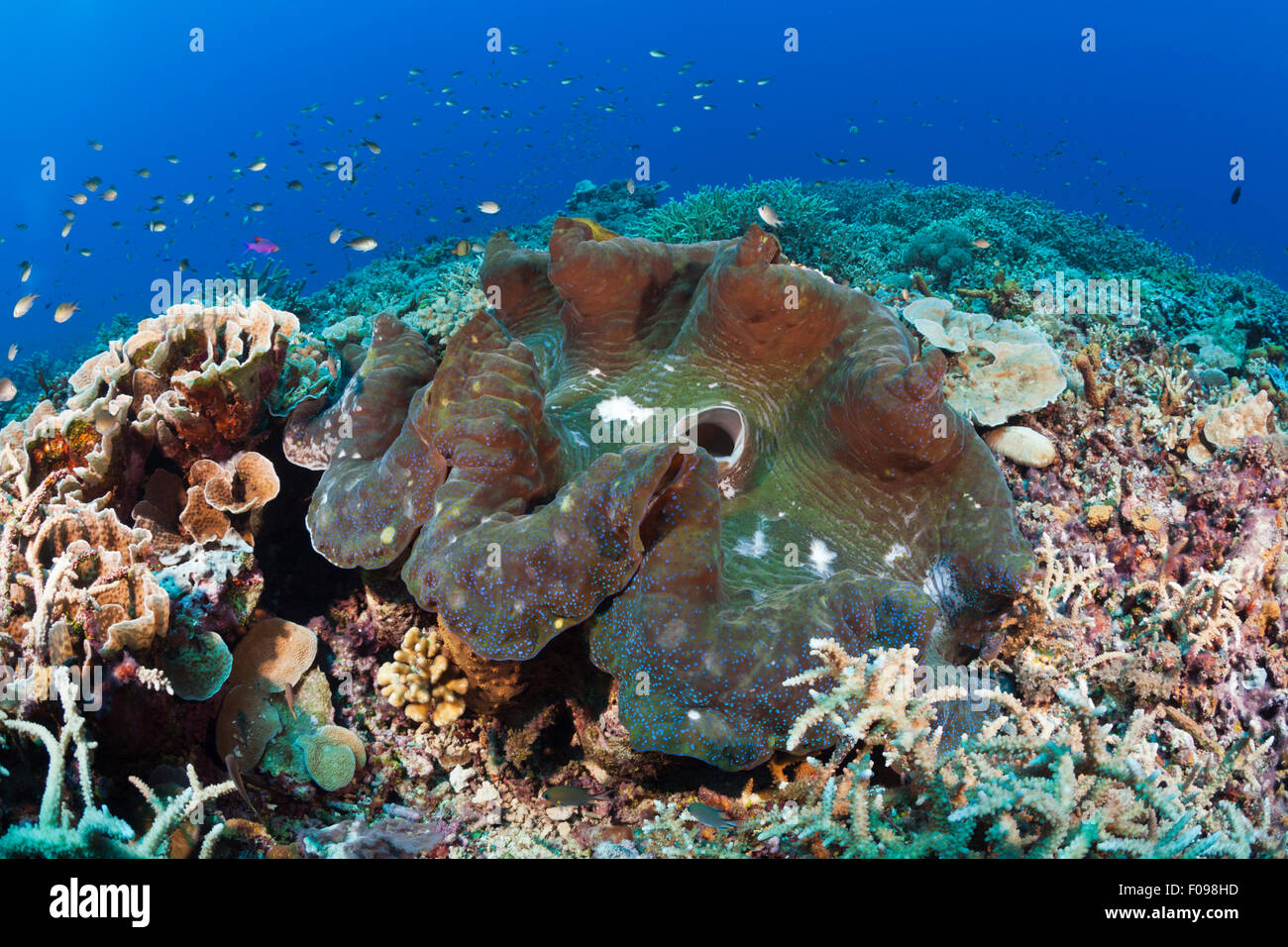 Giant Clam in Coral Reef, Tridacna squamosa, Mary Island, Solomon Islands Stock Photo