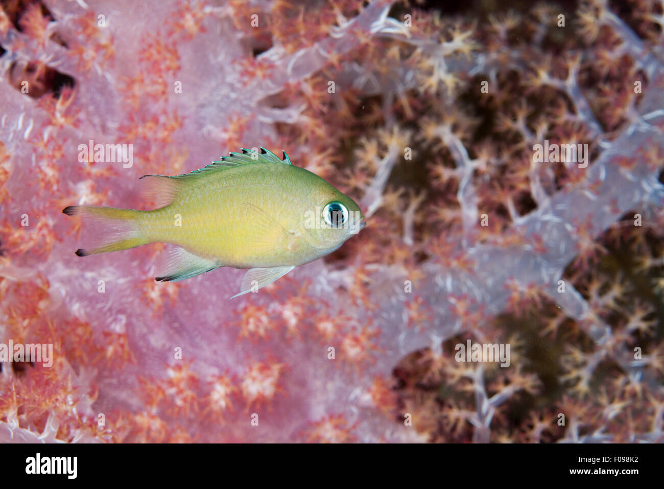 Scaly Cromis, Chromis lepidolepis, Marovo Lagoon, Solomon Islands - Stock Image