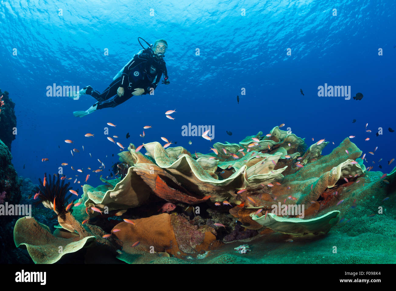 Scuba Diver over Coral Reef, Marovo Lagoon, Solomon Islands - Stock Image
