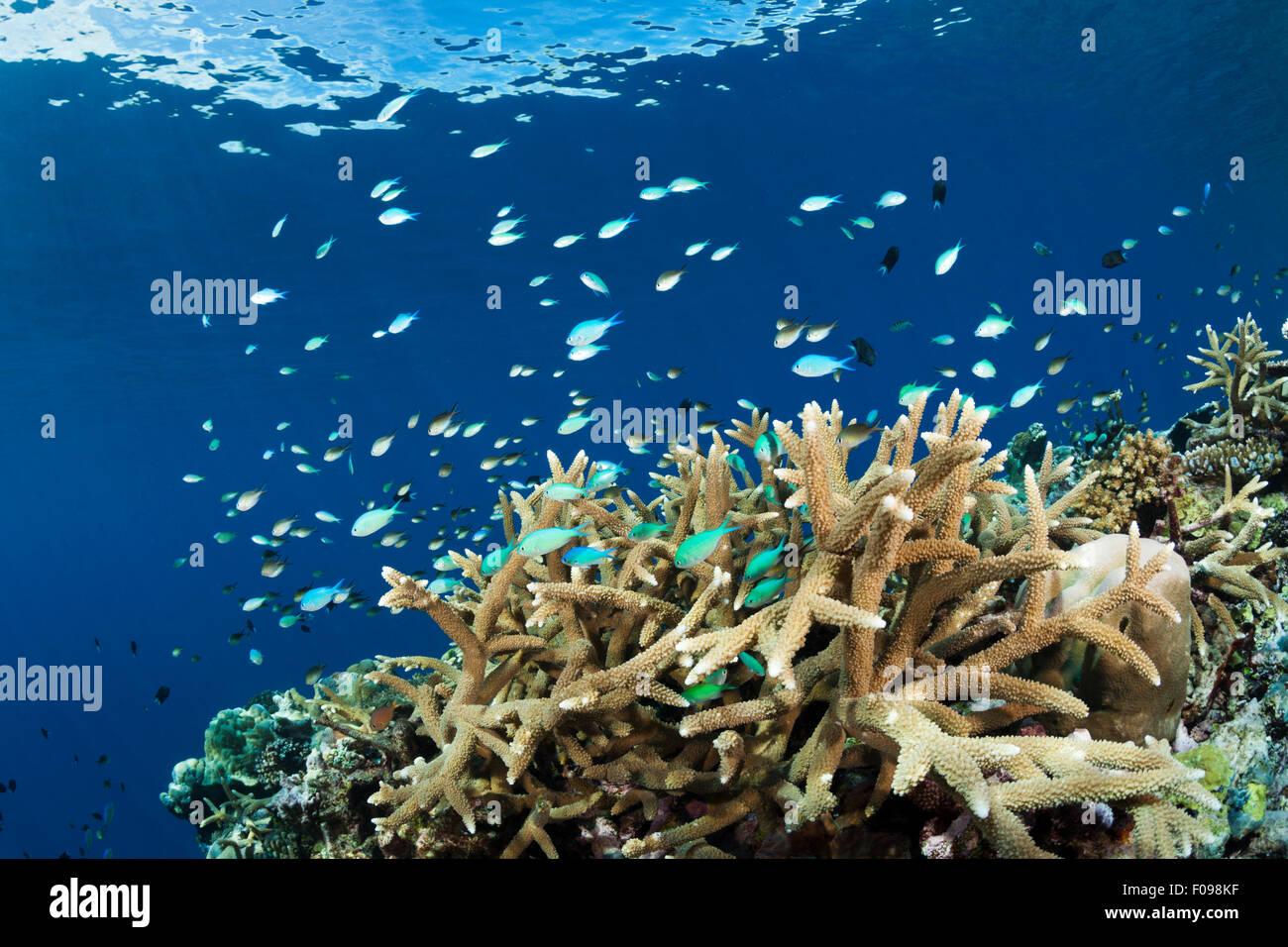 Cromis over Coral Reef, Chromis viridis, Marovo Lagoon, Solomon Islands - Stock Image