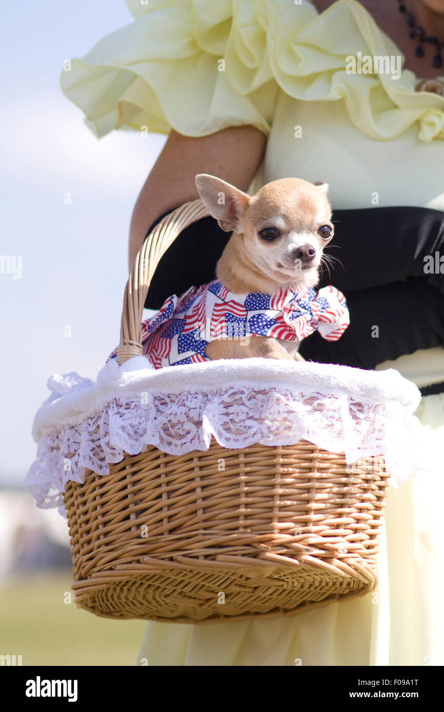 Chihuahua sitting in a wicker basket dressed in the colors of the American Flag - Stock Image