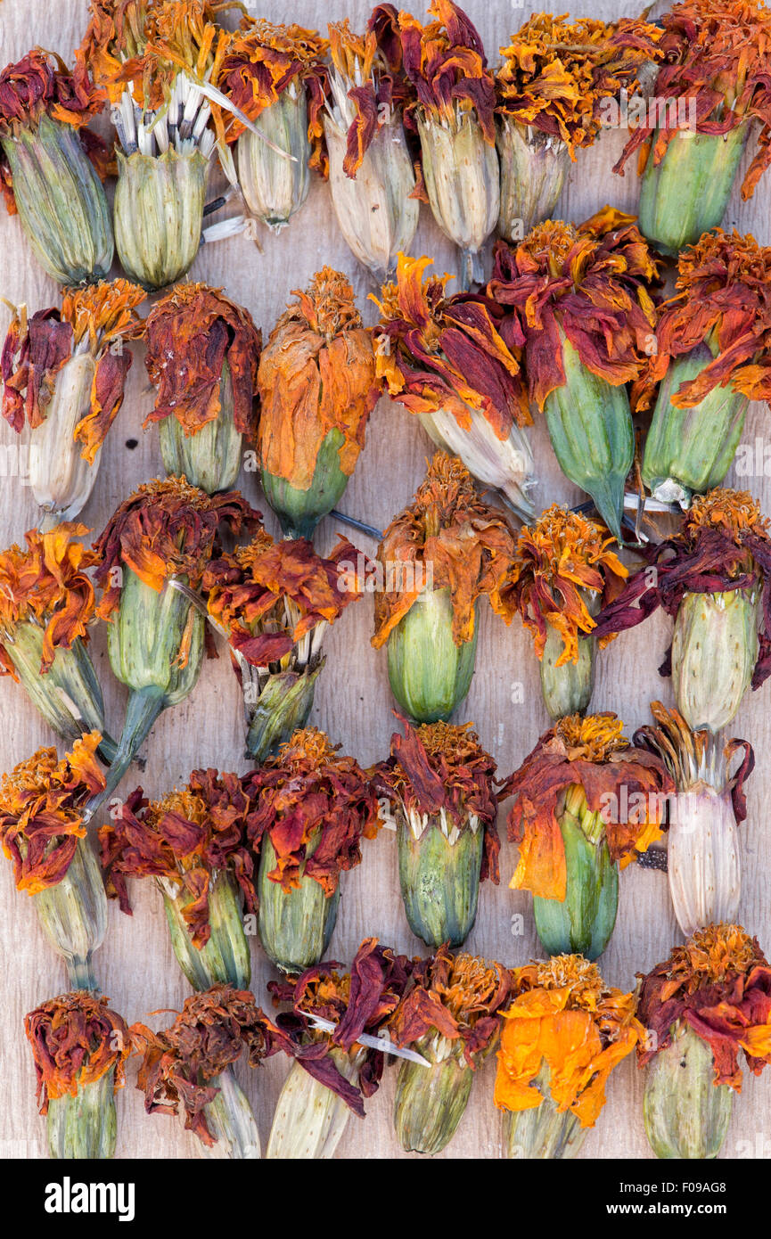 Tagetes. Marigold dried flower heads for seed collecting and storing - Stock Image