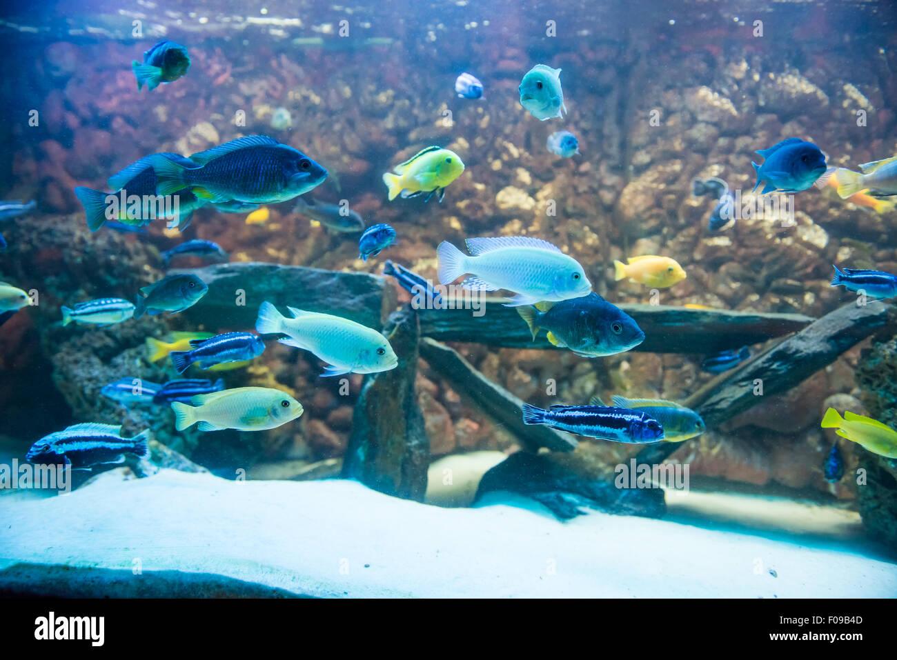 Freshwater Aquarium Fishes Stock Photos Freshwater Aquarium Fishes