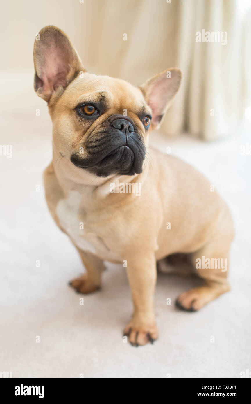 A French bulldog sitting and looking about. - Stock Image