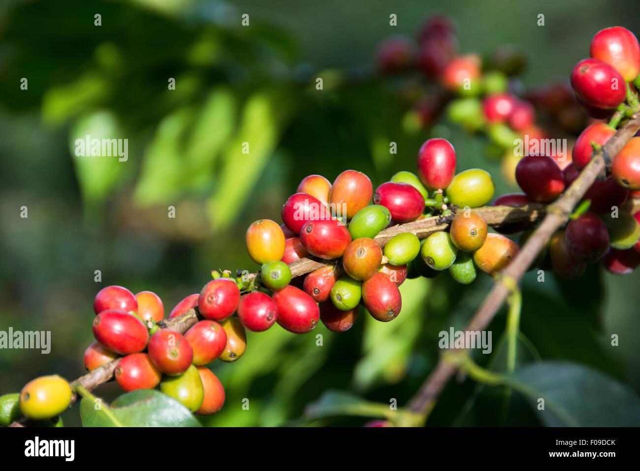 Closeup of coffee cherries on trees in Rwanda - Stock Image