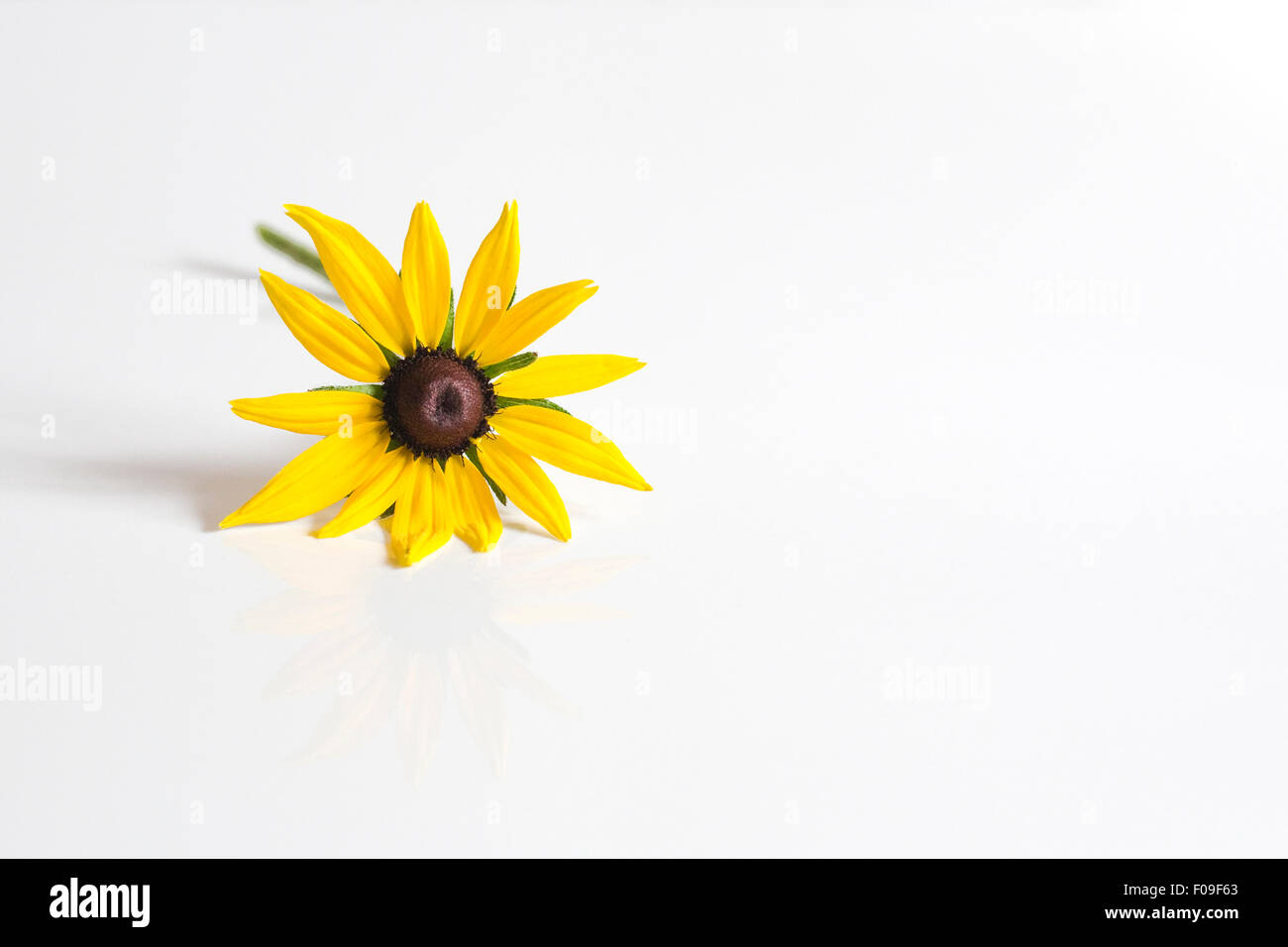 Rudbeckia Hirta. Coneflower. Single flower stem  on a white background. - Stock Image